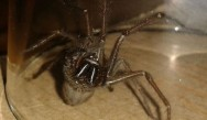 The coming of the arachnids: Irish homes under siege by giant spiders