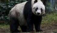 Worlds oldest Giant Panda dies in captivity in Hong Kong