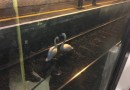 A pair of swans stopped DART trains on their tracks earlier today