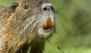 Invasion of the river rat: Citizens advised to be on the lookout for Coypu specimens