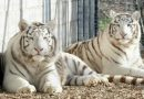 Tragic: Tiger kills zookeeper at UK zoological garden