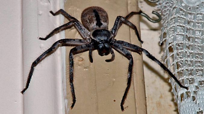 Creepy Crawly: One of the world's largest spiders normally found in Australia makes its way to the UK