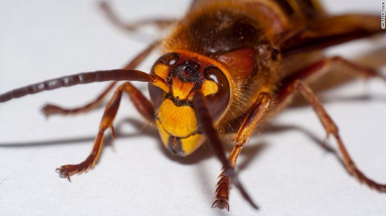 Buzzing horror: Killer giant hornets spotted across the ...